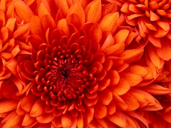 chrysanthemum - copy