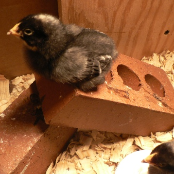 Our little chicks!